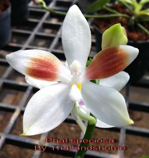 Orchidee Phalaenopsis speciosa