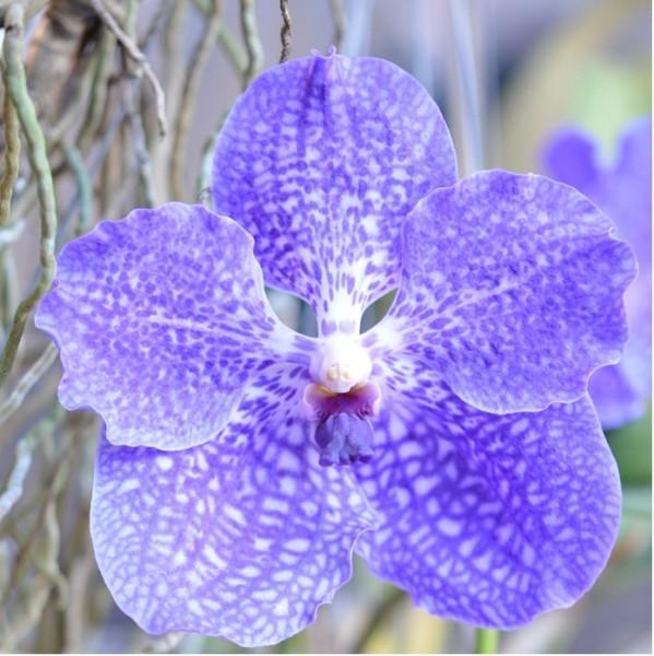orchidee vanda pflege vanda orchidee pflege im topf und im glas orchideen richtig pflegen von. Black Bedroom Furniture Sets. Home Design Ideas