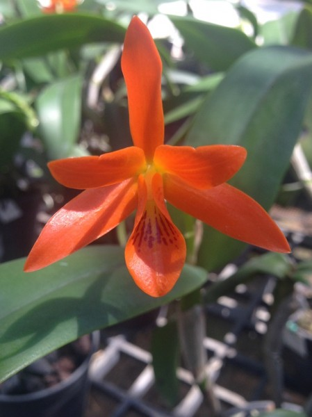 Orchidee Cattleya aurantiaca