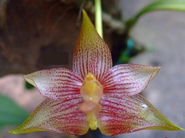Orchidee Bulbophyllum stockeri