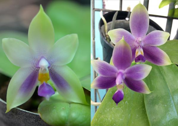 Orchidee Phalaenopsis bellina blue X Phal.violacea var.coerulea