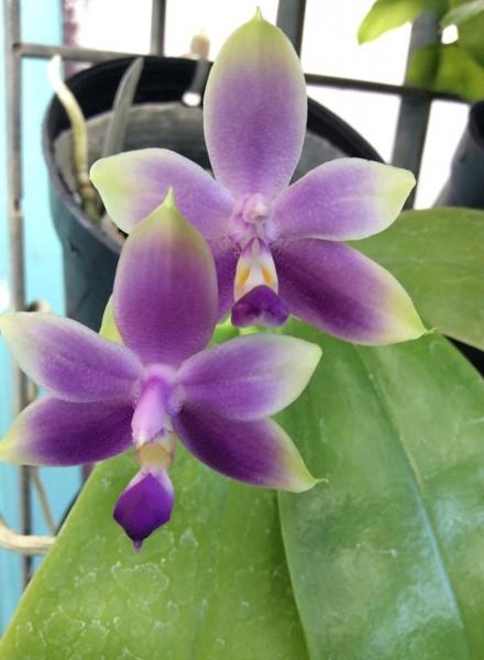 Orchidee Phalaenopsis violacea var coerulea