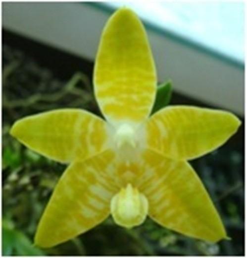 Orchidee Phalaenopsis amboinensis var.flavida