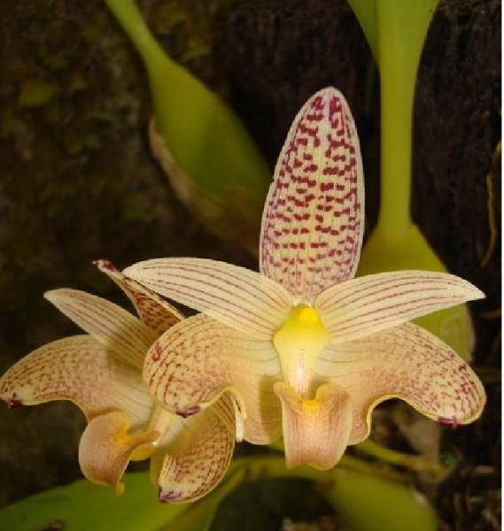 Orchidee Bulbophyllum palawanense