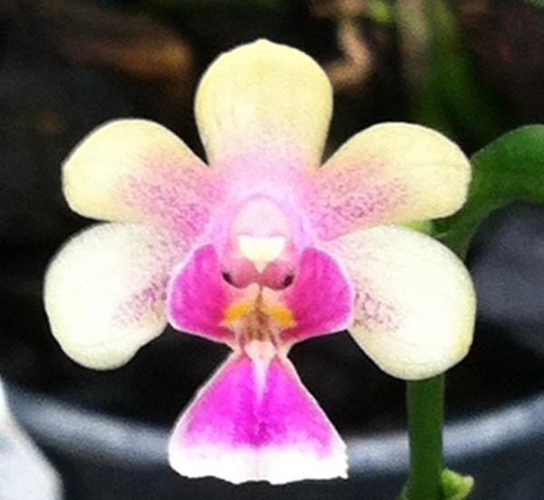 Orchidee Phalaenopsis deliciosa