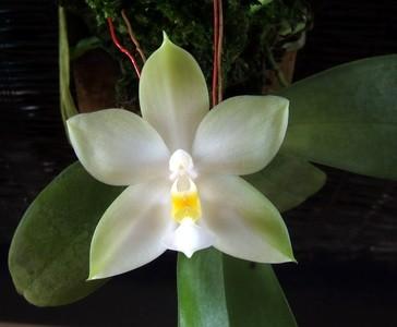 Orchidee Phalaenopsis bellina var. alba