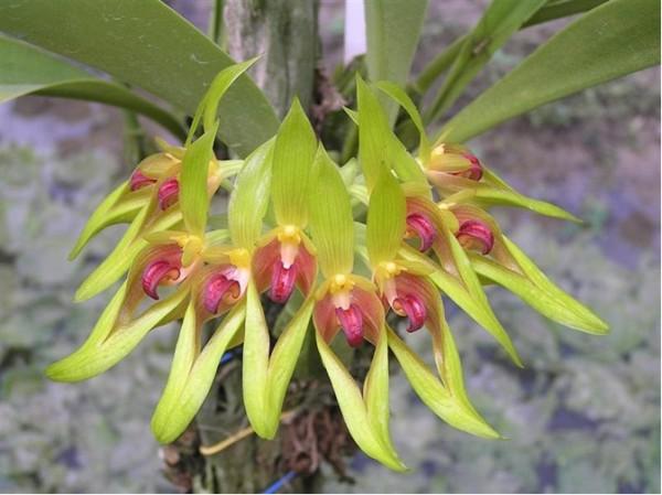 Orchidee Bulbophyllum graveolens