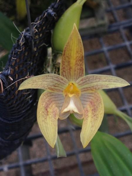 Orchidee Bulbophyllum orectopetalum