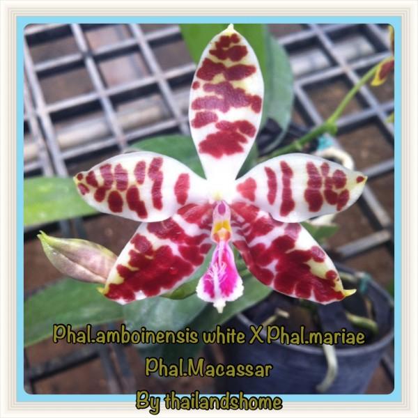 Orchidee Phalaenopsis Macassar