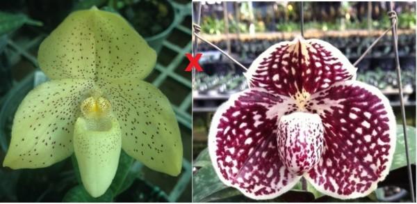 Orchidee Paphiopedilum concolor X Paphiopedilum godefroyae