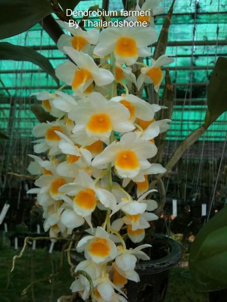 Dendrobium farmeri Orchidee