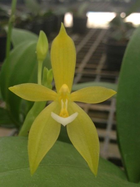 Orchidee Phalaenopsis cornu-cervi var flavum X Self