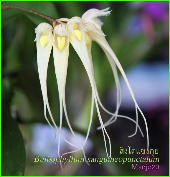 Orchidee Bulbophyllum sanguineopunctalum