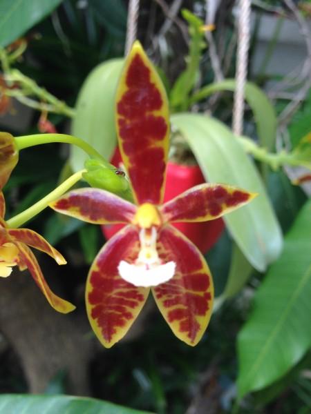 Orchidee Phalaenopsis cornu-cervi red