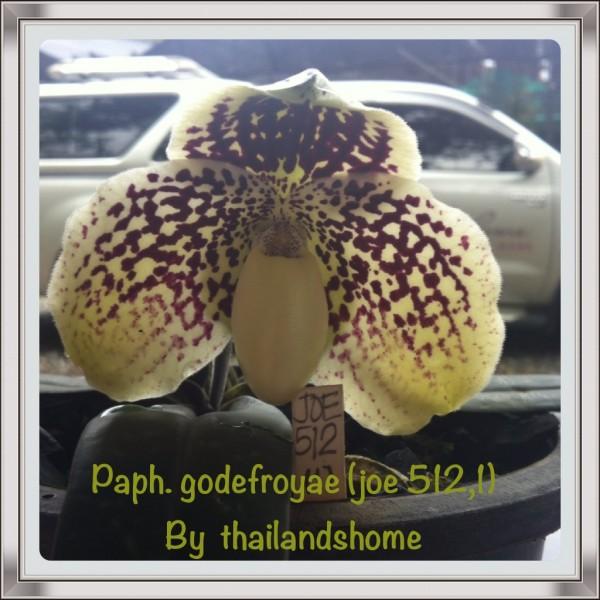 Orchidee Paphiopedilum godefroyae