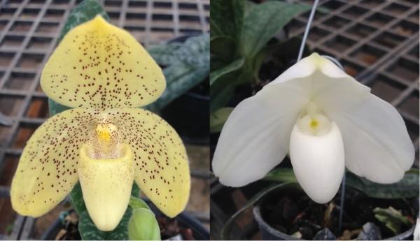 Orchidee Paphiopedilum concolor X Paphiopedilum godefroyae alba