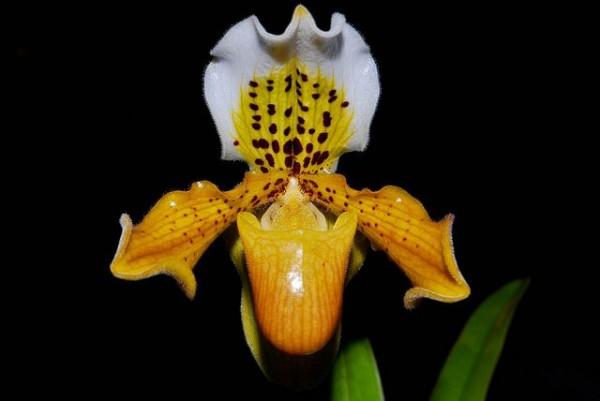 Orchidee Paphiopedilum exul