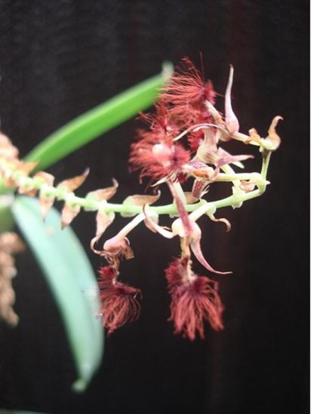 Orchidee Bulbophyllum barbigerum